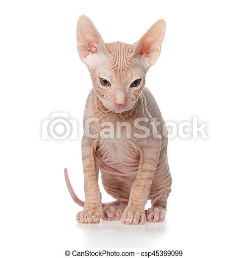 Sphynx kitten on white background