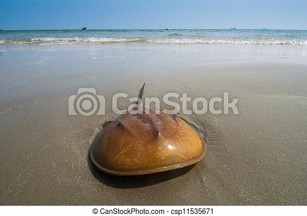 spiaggia sabbia, granchio ferro cavallo - csp11535671