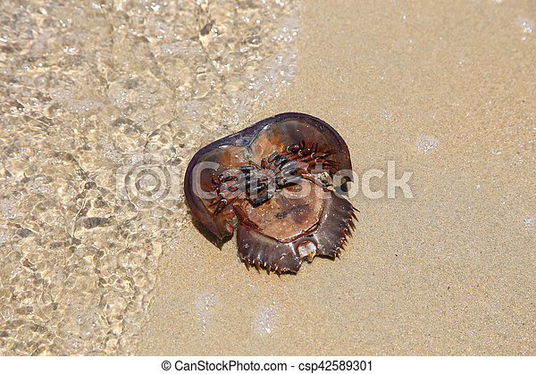spiaggia sabbia, granchio, morto, ferro cavallo - csp42589301