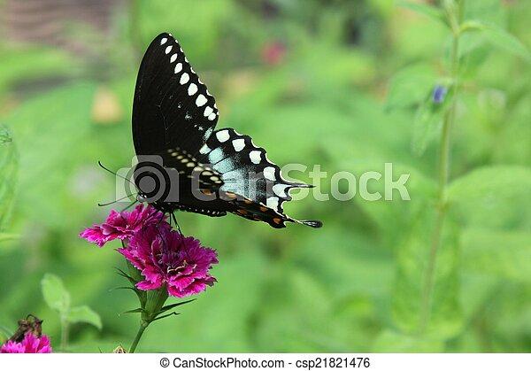 Spicebush swallowtail butterfly - csp21821476