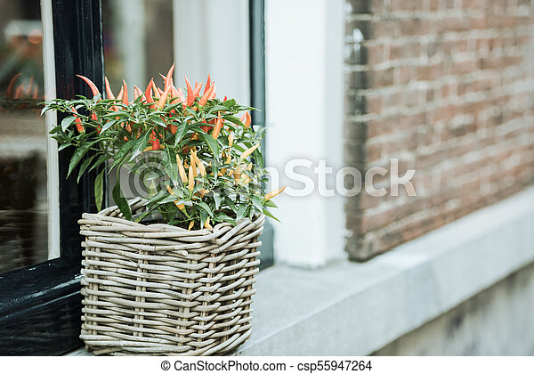 Spicy red pepper in a pot grows outdoors - csp55947264