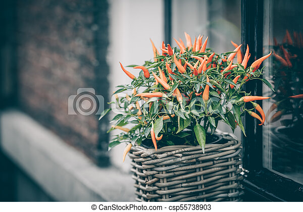 Spicy red pepper in a pot grows outdoors - csp55738903
