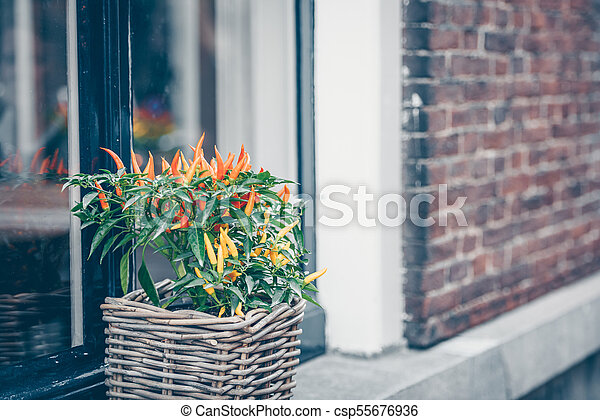Spicy red pepper in a pot grows outdoors - csp55676936