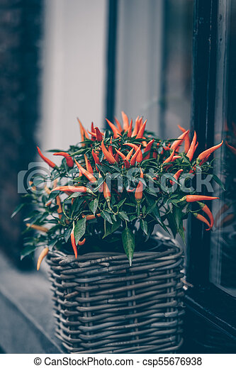 Spicy red pepper in a pot grows outdoors - csp55676938