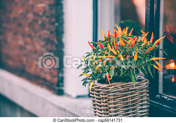 Spicy red pepper in a pot grows outdoors - csp56141731