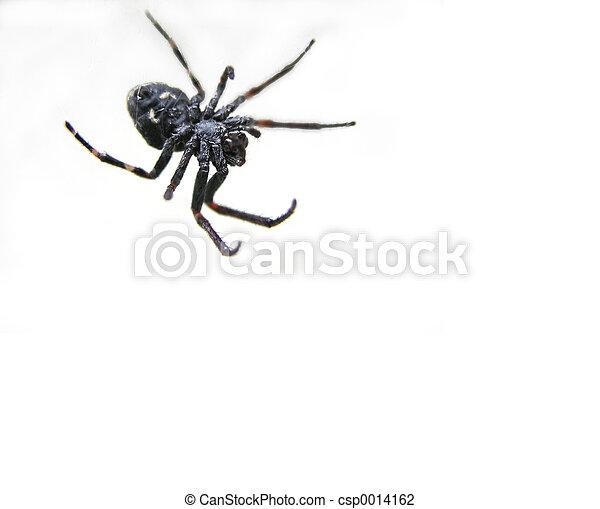 Spider in the corne - csp0014162