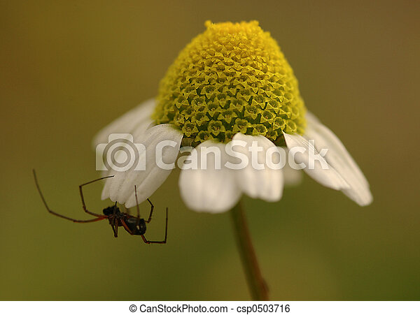 spider - csp0503716