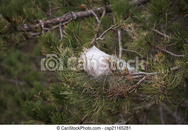 Spider S Net On A Pine Tree