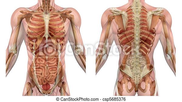 spierballen, torso, back, voorkant, mannelijke , organen - csp5685376