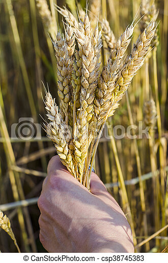spikelets of wheat in the hands - csp38745383