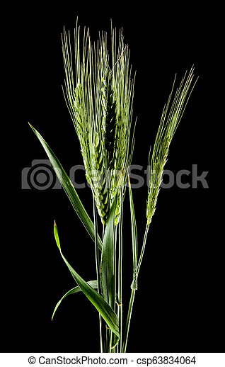 spikelets on a black background - csp63834064