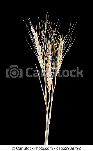 spikelets on a black background - csp52989792
