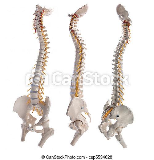 spinal column - csp5534628