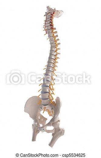 spinal column - csp5534625