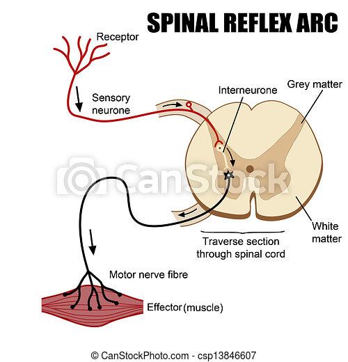 Spinal Reflex Arc - csp13846607