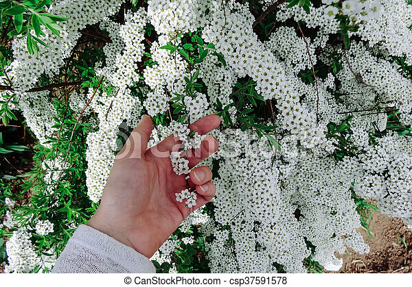 Spiraea alpine meadowsweet spring flower white blossoming shrub flowering plants with small white flowers mightylinksfo