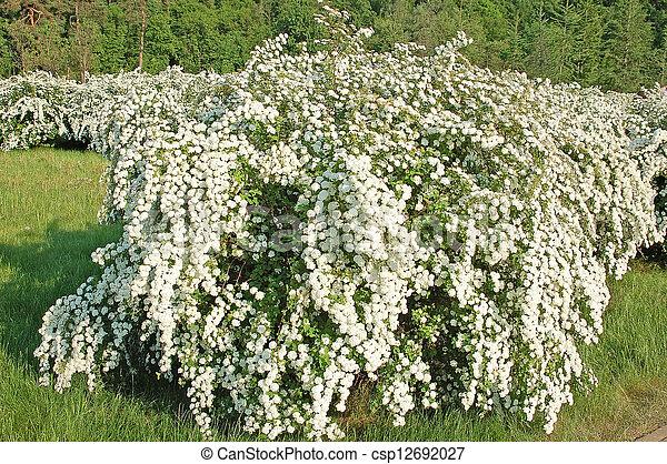 Spiraea alpine spring flower white flowering shrub spiraea alpine spring flower csp12692027 mightylinksfo