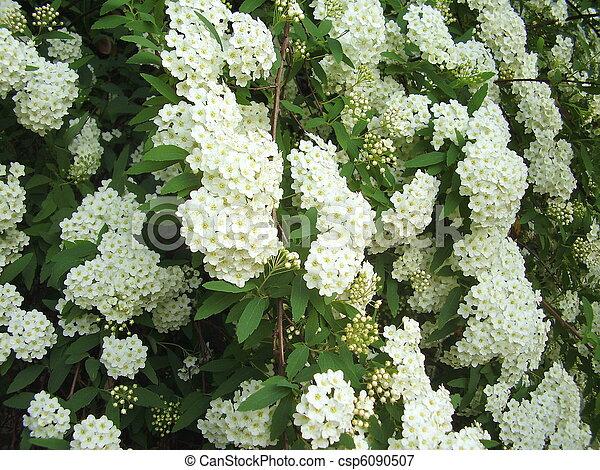 Spirea arguta close up of the white flowering shrub spirea arguta spirea arguta csp6090507 mightylinksfo