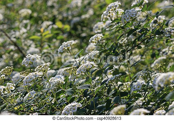 Spirea bush bloomed white flowers in spring white flowers stock spirea bush bloomed white flowers in spring csp40928613 mightylinksfo
