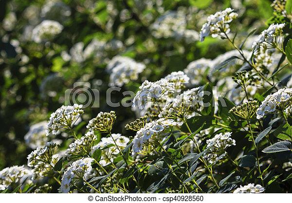 Spirea bush bloomed white flowers in spring white flowers stock spirea bush bloomed white flowers in spring csp40928560 mightylinksfo