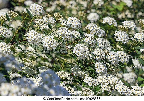 Spirea bush bloomed white flowers in spring white flowers spiraea spirea bush bloomed white flowers in spring csp40928558 mightylinksfo