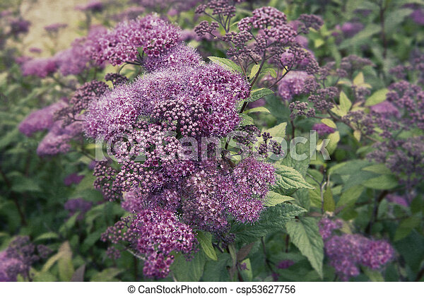 Spirea plant in summer pink flowers on a spirea bush in an alaskan spirea plant in summer csp53627756 mightylinksfo