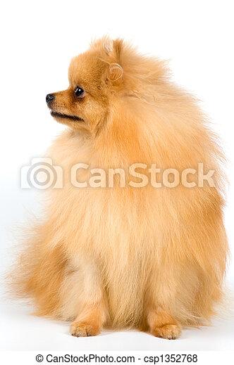 Spitz-dog in studio - csp1352768
