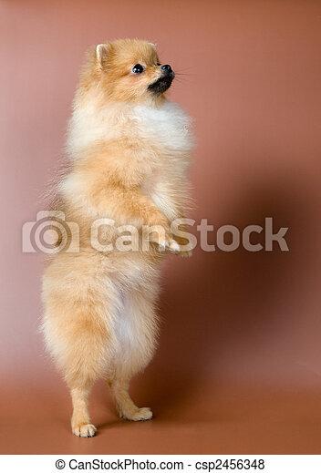 Spitz-dog in studio - csp2456348