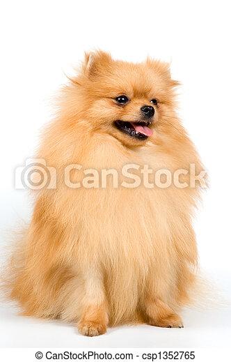Spitz-dog in studio - csp1352765