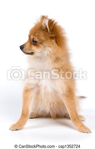 Spitz-dog in studio - csp1352724