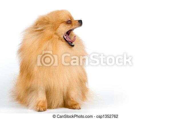 Spitz-dog in studio - csp1352762