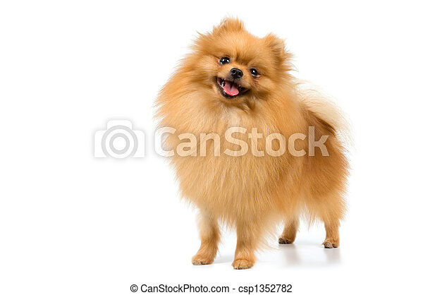 Spitz-dog in studio - csp1352782