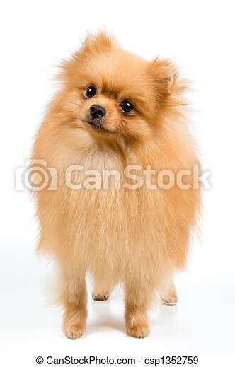 Spitz-dog in studio - csp1352759