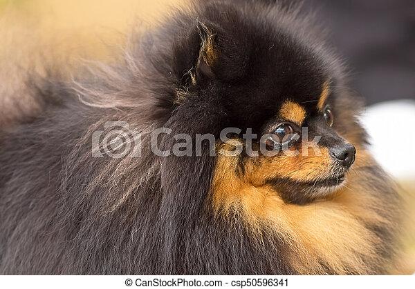 Spitz Nahaufnahme Hund