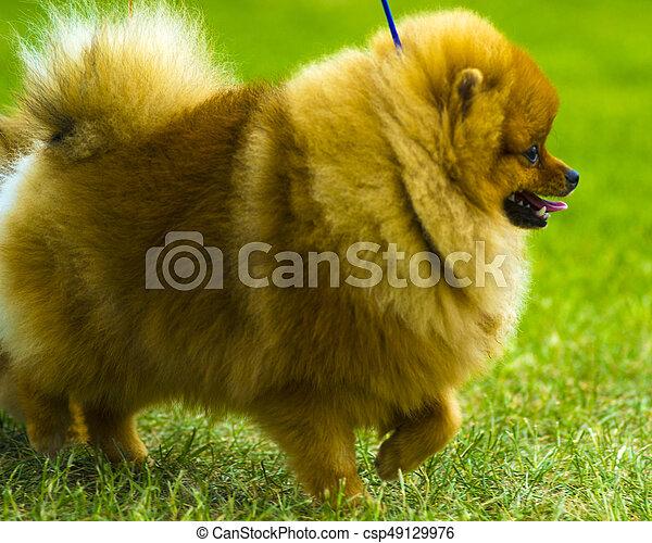 Spitz. Pomeranian run in grass field. Dog running - csp49129976