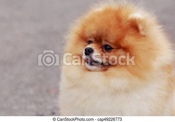Spitz Rasse Hund Pomeranian