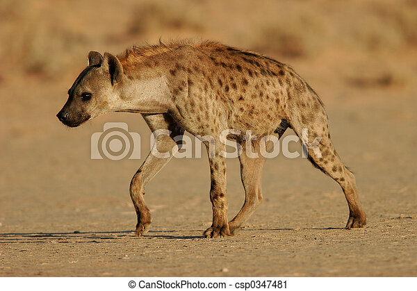Spotted hyena - csp0347481