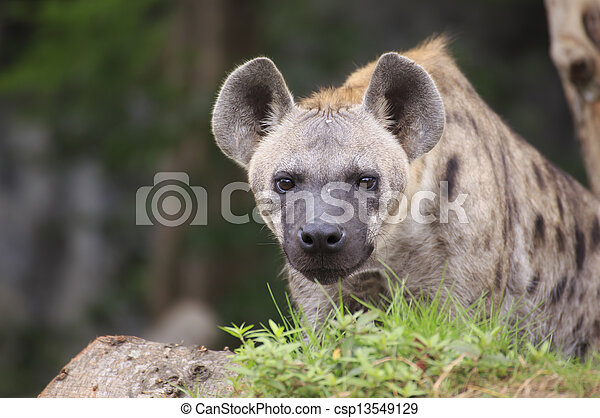 Spotted Hyena - csp13549129
