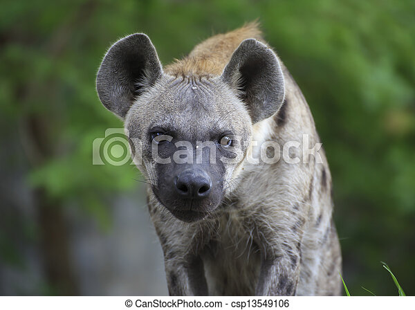 Spotted Hyena - csp13549106