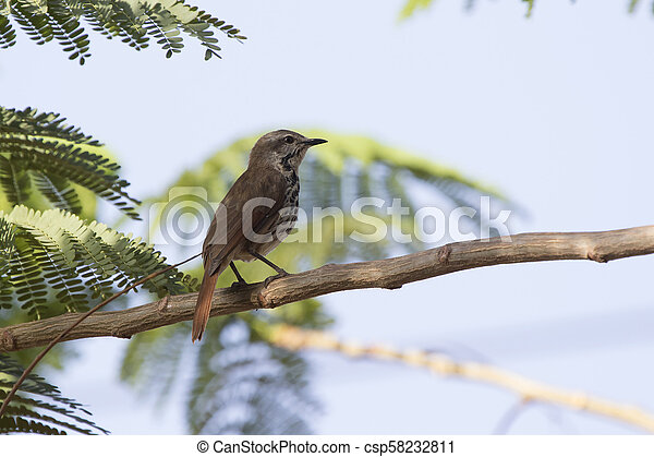 Spotted morning-thrush that sits on an acacia tree in the shade of a leaf on a hot African day - csp58232811