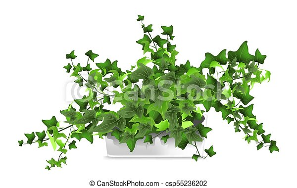Spotted Plant Hedera Ivy In A White Pot Element Of Home Decor