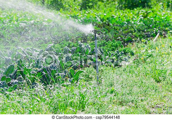 Spray irrigation working during daytime at organic kale farm in Washington, America - csp79544148