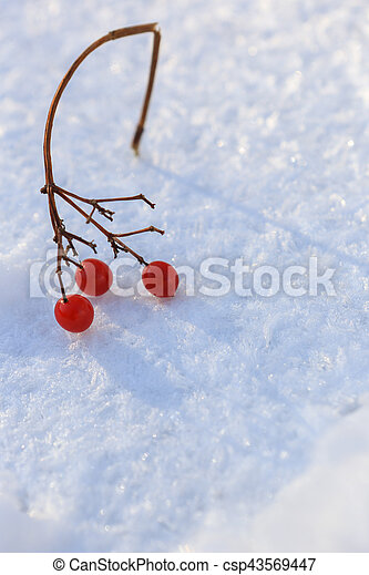 Sprig of red cranberries in the snow, background - csp43569447