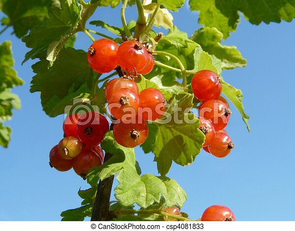 Sprig of red currants on a backgrou - csp4081833