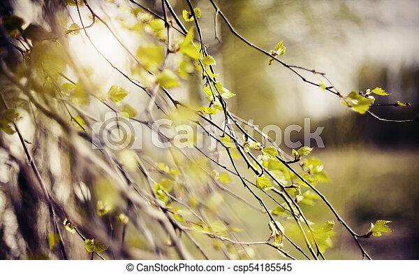 spring., àppearing, feuilles, branches, bouleau - csp54185545
