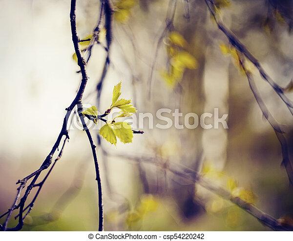 spring., àppearing, feuilles, branches, bouleau - csp54220242