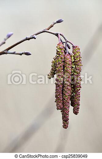 Spring. Alder catkins closeup - csp25839049