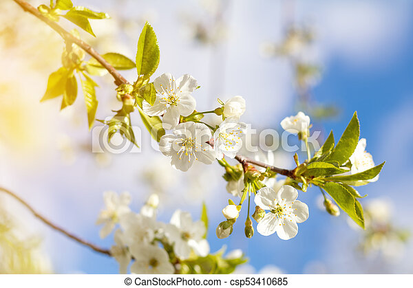 Spring background art with white cherry blossom - csp53410685