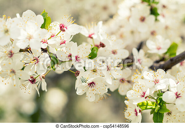 Spring background art with white cherry blossom. Beautiful nature scene with blooming tree and sun flare. Sunny day. Spring flowers. Beautiful orchard. Abstract blurred background. Shallow depth of field. - csp54148596
