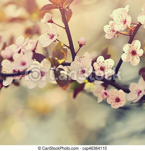 Spring background. Beautiful flowering tree Japanese cherry - Sakura. Flowers on a sunny day. - csp46364110